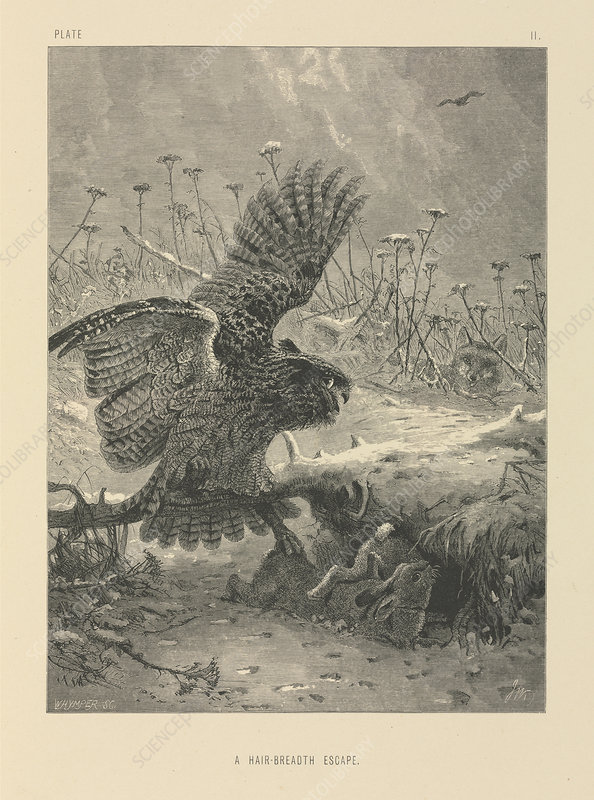 Bird-of-prey hunting, 19th century
