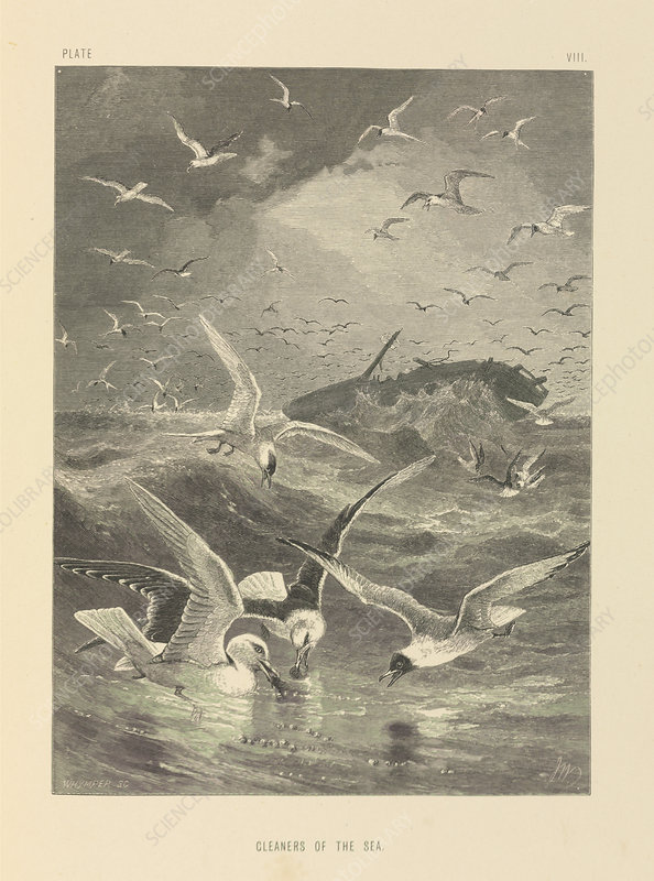 Seagulls feeding, 19th century