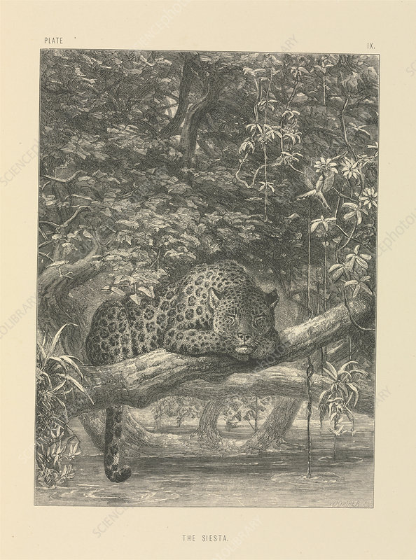 Jaguar resting, 19th century