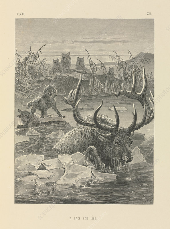 Wolves hunting a stag, 19th century