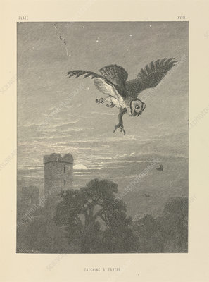 Owl being attacked, 19th century
