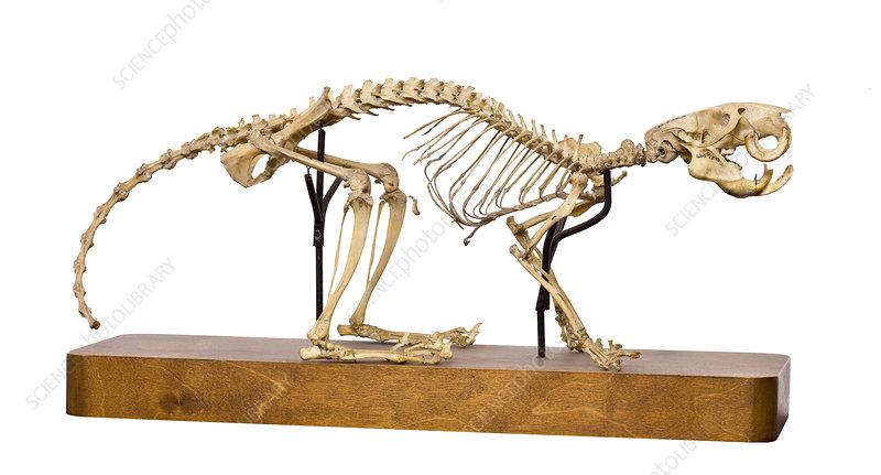 Black-footed tree-rat skeleton