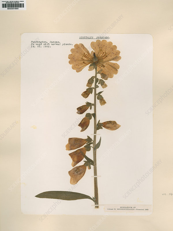 Pressed foxglove (Digitalis purpurea)