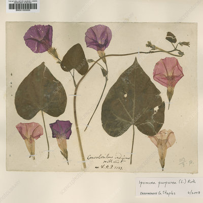 Pressed morning glory (Ipomoea purpurea)