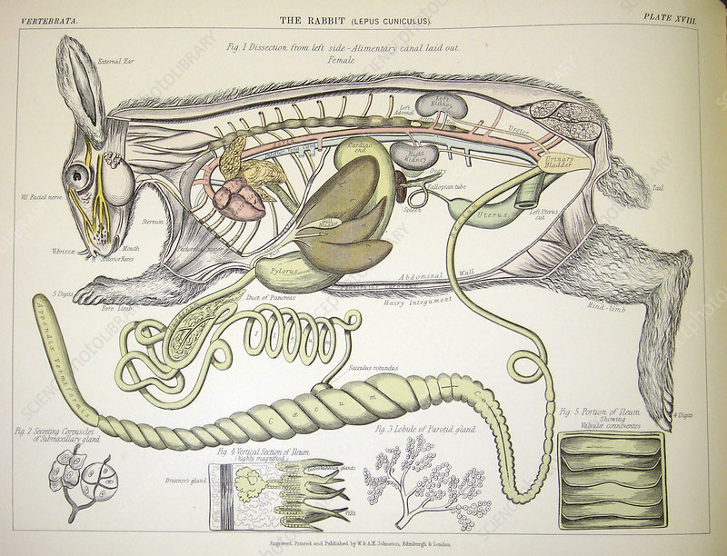 Rabbit anatomy, 19th century
