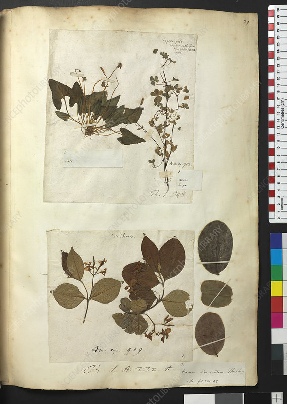 Pressed plants, Sloane Collection