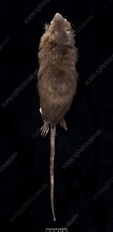 Antillean giant rice rat