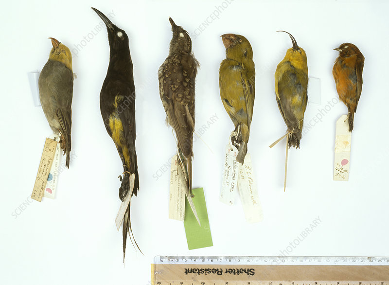 Extinct and endangered Hawaiian birds