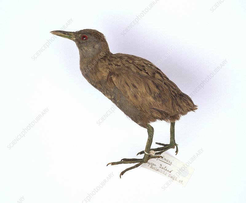 Laysan Crake bird