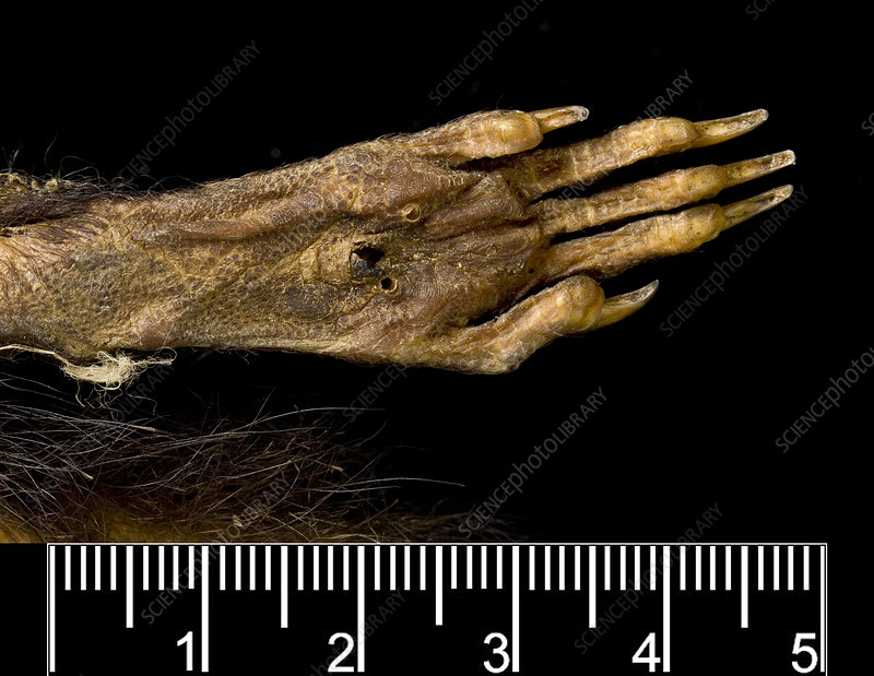 Antillean giant rice rat foot