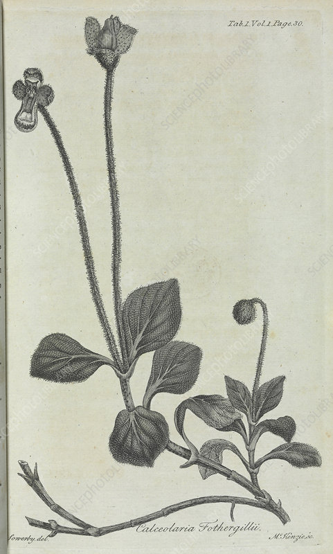 Slipperwort illustration, 18th century