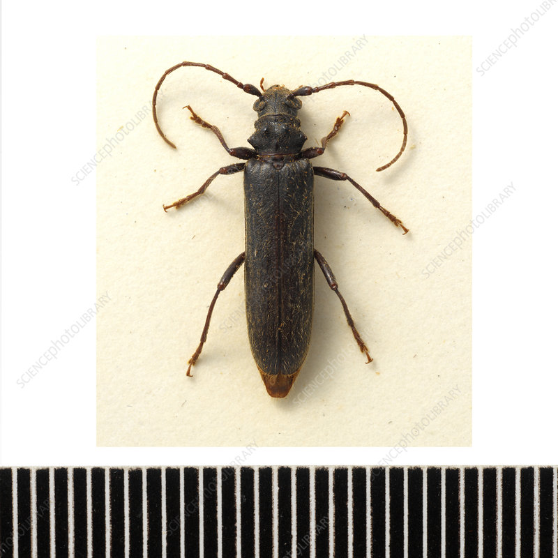 Two-toothed longhorn beetle