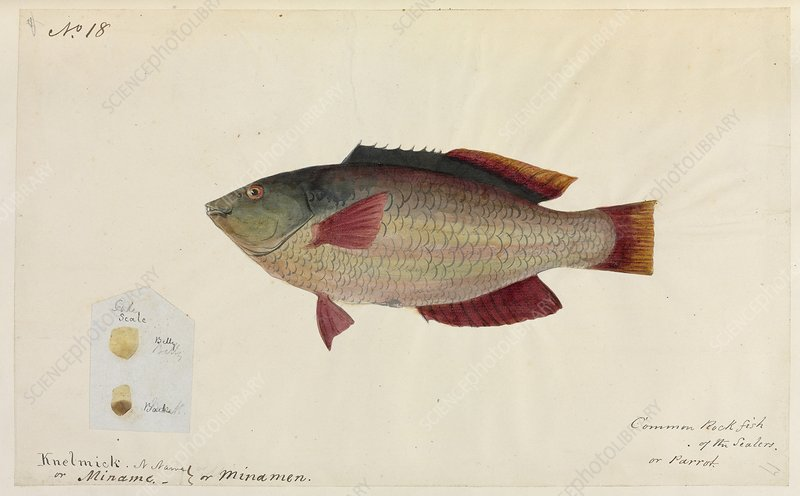 Common rock fish, artwork