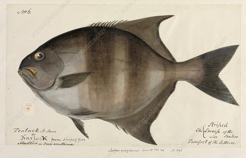 Pomfret fish, artwork