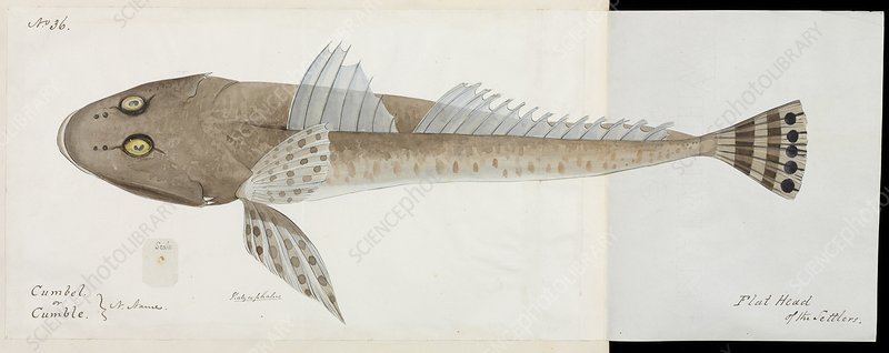 Flathead fish, artwork