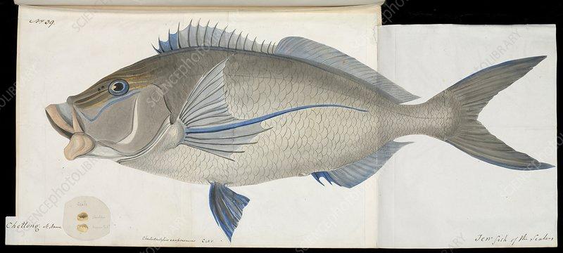 Cheilodactylus perch fish , artwork