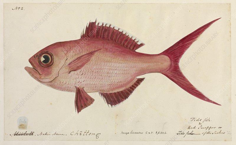 Red snapper fish, artwork