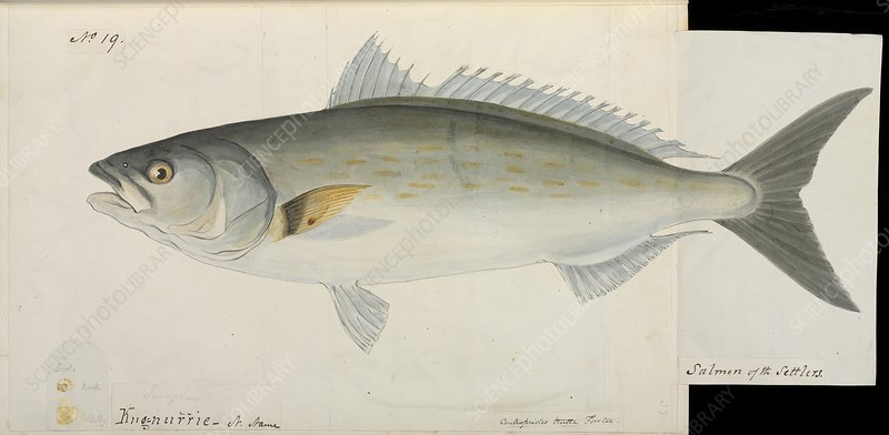 Salmon of the settlers fish , artwork