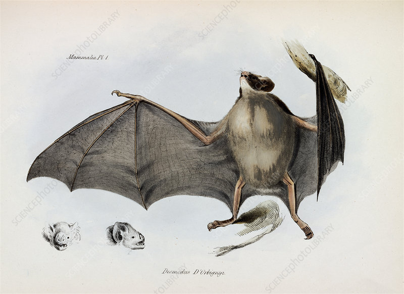Silky short-tailed bat, artwork