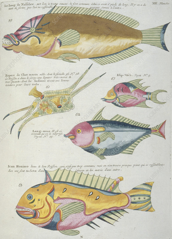 Fish illustrations, 18th century