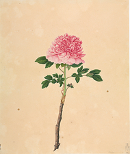 Tree peony (Paeonia suffruticosa) artwork