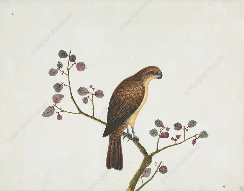 Reeves zoological artwork, 19th century