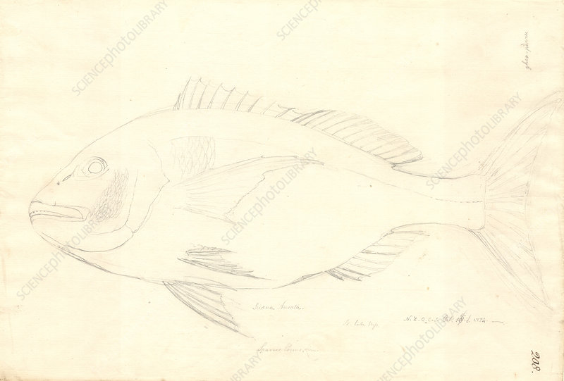 Sciaena fish, 18th century
