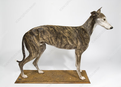 Ballyregan Bob, racing greyhound