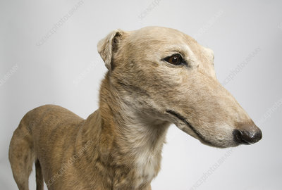 Mick the Miller, racing greyhound