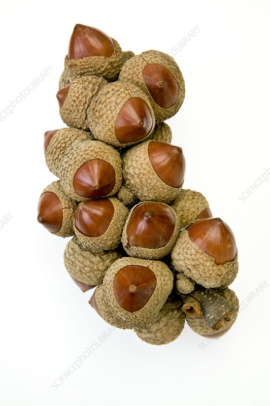 Stone oak (Lithocarpus sp.) nuts