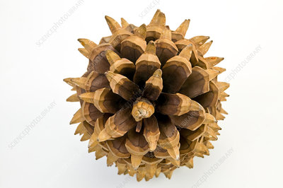 Big-cone pine (Pinus coulteri) cone