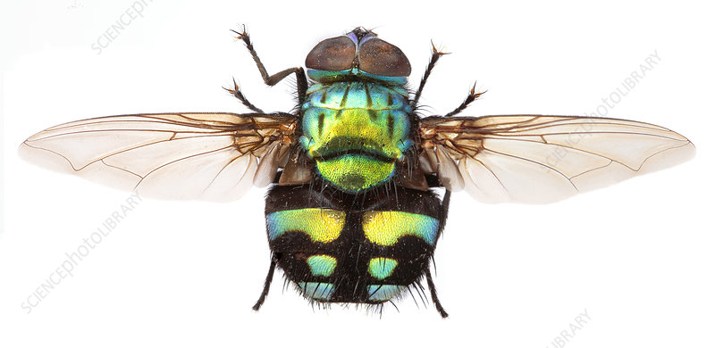 Formosia fly