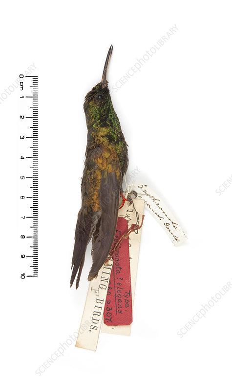 Gould's emerald hummingbird