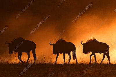 Blue wildebeest at dawn
