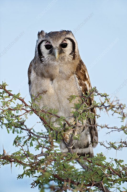 Giant eagle owl in a tree