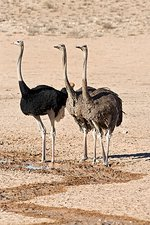 Southern ostriches