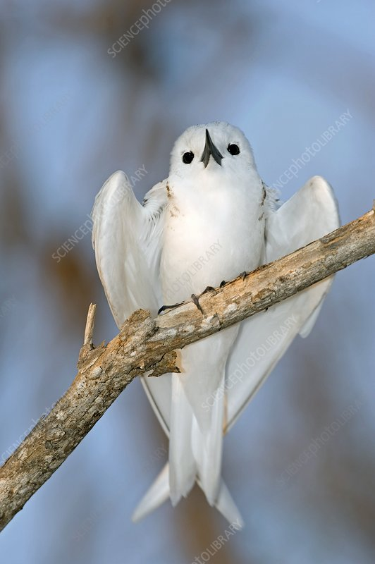 White tern in a tree