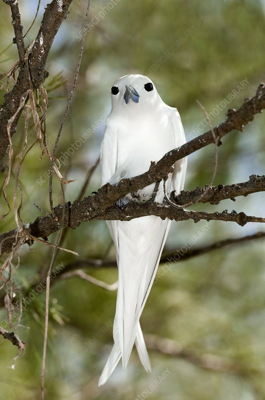White tern on an egg in a tree