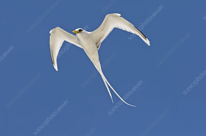 White-tailed tropicbird in flight
