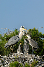 Grey herons raising chicks