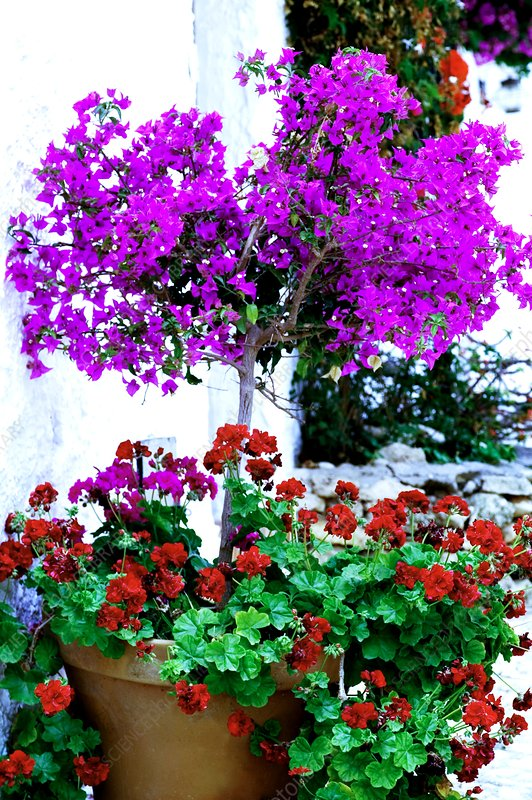 Bougainvillea sp. and Pelargoniums sp