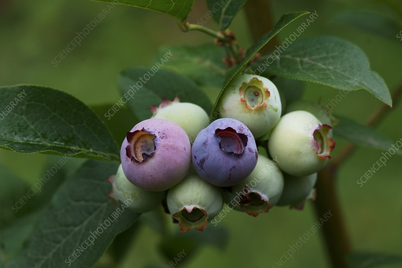 Blueberry (Vaccinium sp.)