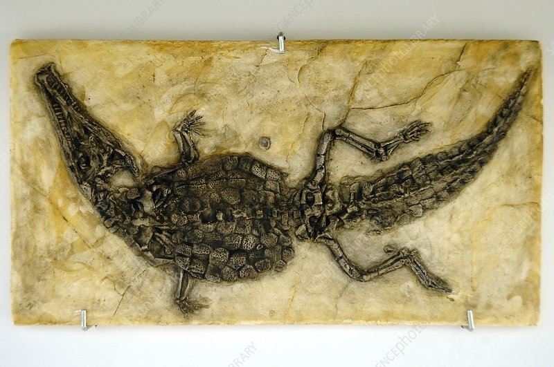 Crocodyliform fossil