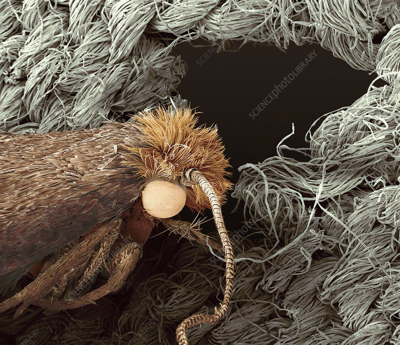 Clothes moth on cotton