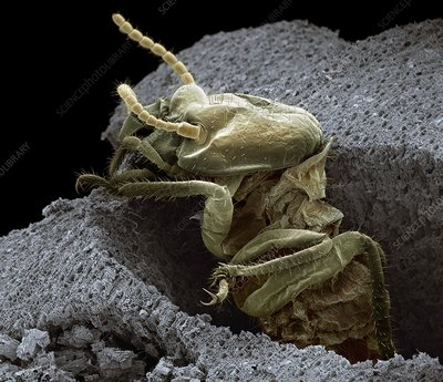 Termite emerging from wood, SEM
