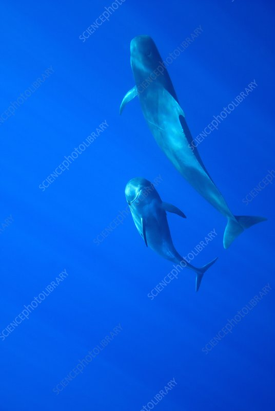 Short-finned pilot whale mother and calf
