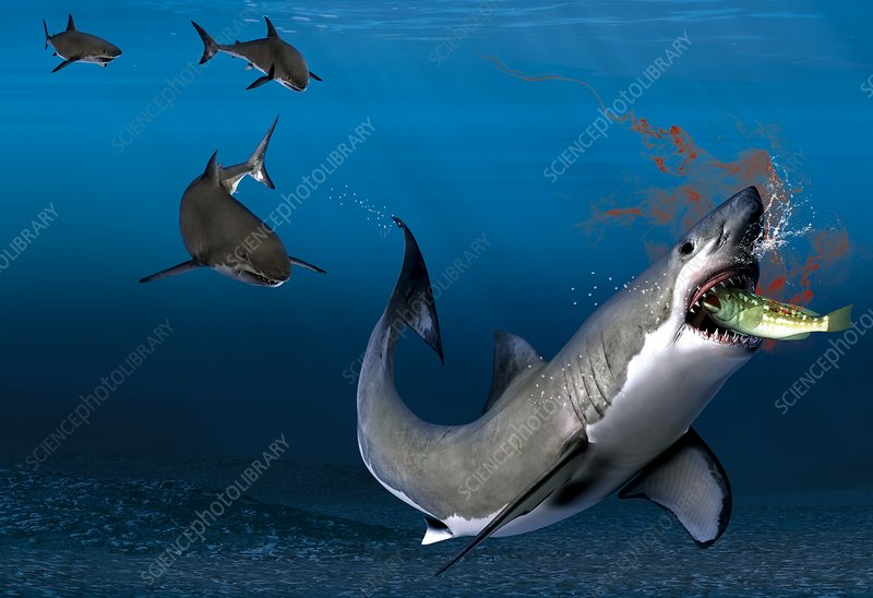 Shark sensing prey, artwork