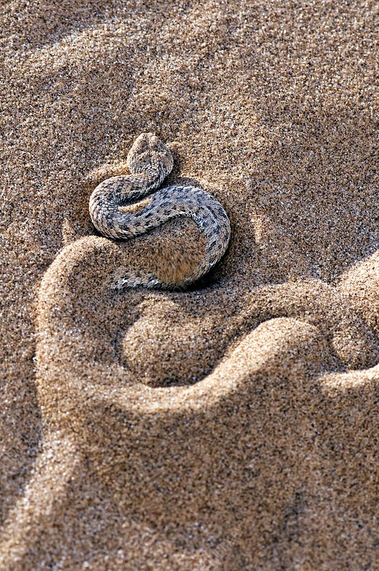 Peringuey's adder burying itself in sand