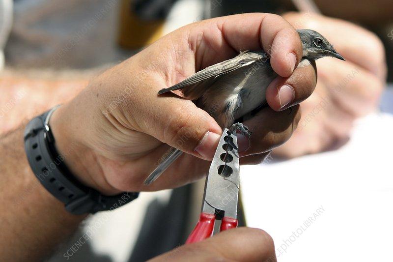 Bird Ringing Licence
