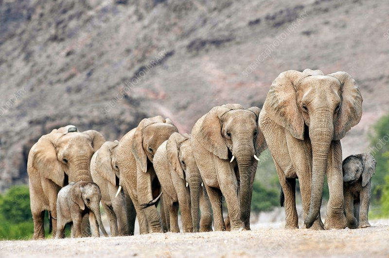 Desert-adapted elephants